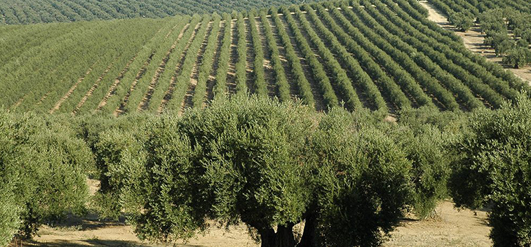 Olive tree accounts a quarter of the worldwide permanent crop