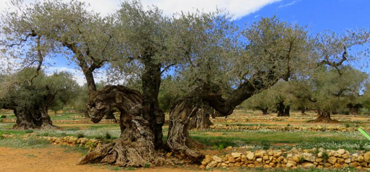 DO YOU KNOW THE ROUTES OF THE MILLENNIAL OLIVE TREES?