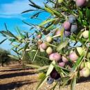 2015-03-12-cultivo-del-olivo-A