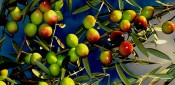 Botánica del olivo parte I
