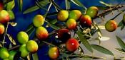Botánica del olivo parte II