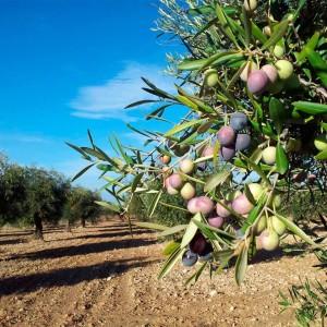 Estimated world olive oil production