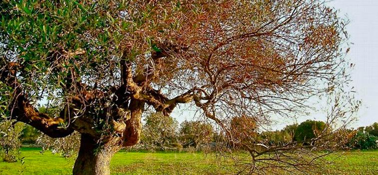 Requisitos básicos en la plantación del olivo.
