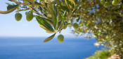 THE OLIVE GROVE AND THE CLIMATIC CHANGE